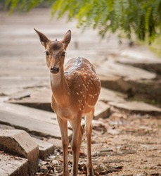 Deer, One of the rare species in Trincomalee