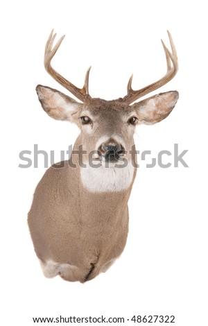 Deer or Buck head front view - stock photo