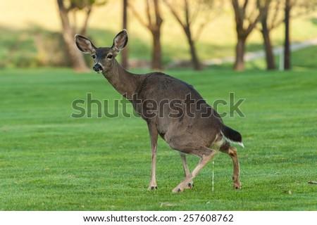 Opinion, the blue deer pee