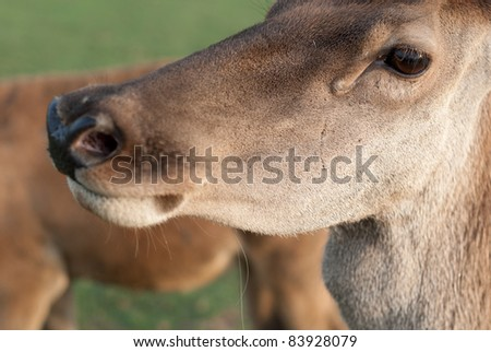 Deer portrait ( Close-up image in the Zselici forest, Hungary)