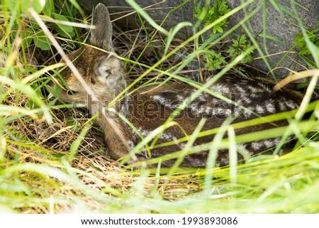 Deer pup hiding in the grass  Stock fotó ©