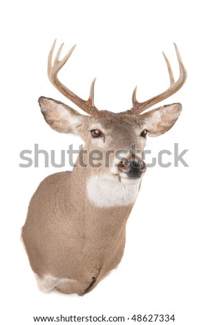 Deer's head from the front