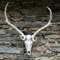 Deer skull hanging on a stone wall of an alpine hut.