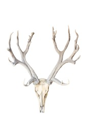 deer skull isolated on white background with clipping path
