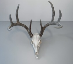 Deer skull with antlers hanging on a gray wall