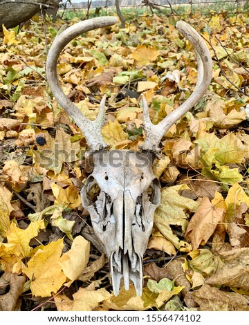 Deer skull with antlers in fall leaves.  Isolated.  background #1556474102