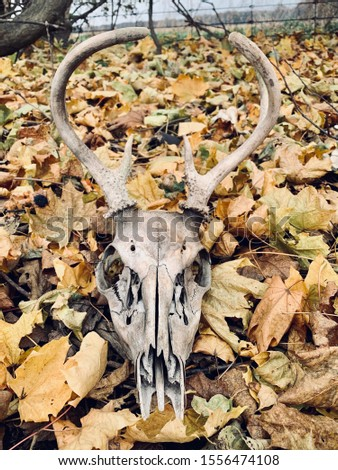 Deer skull with antlers in fall leaves.  Isolated.  background #1556474108