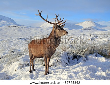 Deer Stag in the snow