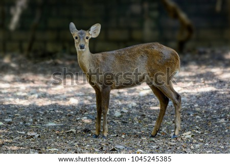 Deer standing with blur background, Thailand. #1045245385