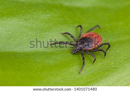 Deer tick detail. Ixodes ricinus. Arachnid on green background. Disgusting hairy parasite closeup on natural leaf texture. Carrier of encephalitis, Lyme borreliosis or babesiosis infections. Top view.