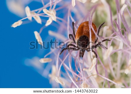 Deer tick female on flowering grass head, blue sky background. Ixodes ricinus. Dangerous parasite crawling on white-violet bloom. Ixodid, carrier of encephalitis, Lyme disease or babesiosis infection. Stock photo ©