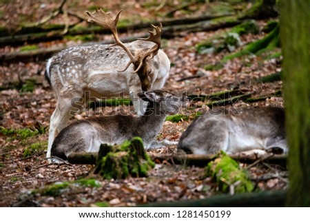 Deer Wildlife Picture Closeup Moose Animal Nature Background Wallpaper Commercial Forest