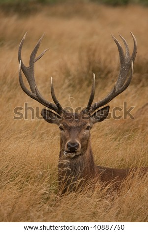 Deer with antlers, sitting - stock photo