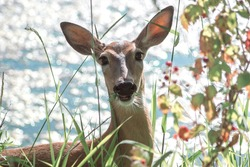 Deer with direct stare, eating berries