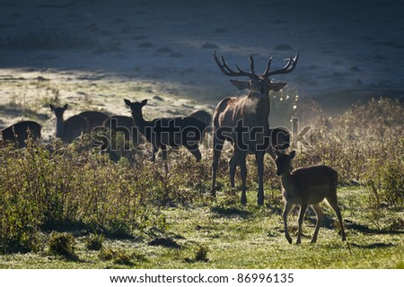 Deer with herd roaring on the meadow at sunrise