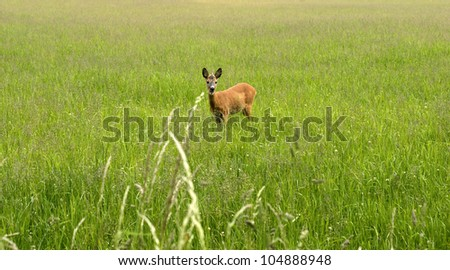 Deer with open mouth looking from high green grass