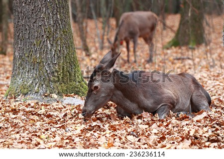 Deer with their heads down lying in the woods on a background of other deer