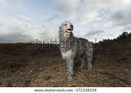 Deerhound dog in the landscape #372338104