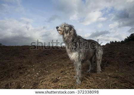 Deerhound in the landscape #372338098