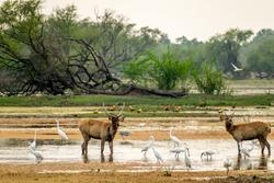 Deers and birds, Bharatpur Bird Sanctuary, Rajasthan, India