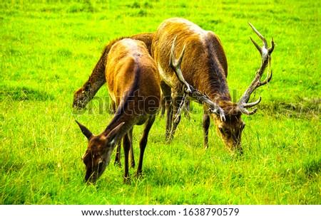 Deers grazing on pasture field