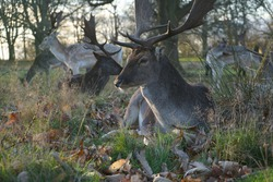 Deers in Richmond Park - Bambi Portrait