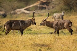 Defassa waterbuck is a large, robust animal with long, shaggy hair and a brown-gray coat that emits an oily secretion from its sweat glands, which acts as a water repellent.