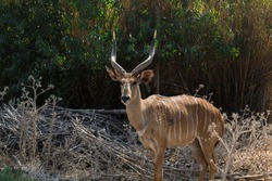Defassa Waterbuck with big horns is standing in safari Ramat Gan, spring in Israel. Wildlife shooting