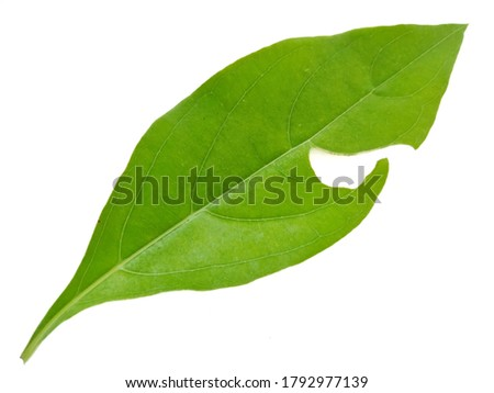 Defective Leaves isolated on white background, Exotic tropical leaf, Large green leaf, Colorful foliage, Green leaf isolated, leaves, leaf, foliage, Defective leaves, Hand holding leaves, Nature