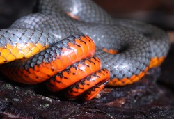 Defensive display of the Pacific Ringneck Snake (Diadophis punctatus amabilis), which coils its tail and shows off bright red and orange color when threatened.