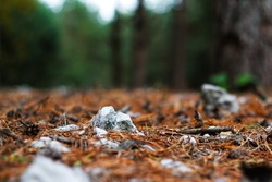 Defocus closeup fur and pine forest floor of crushed stones in mound or memorial. White rock, minerals, archeology, excavations. Outdoor, outside. Pine, needles,dry leaves. Out of focus.
