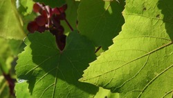 Defocus nature background with copy space. Sunlight on jagged edges and leaf veins of grape vine and green foliage