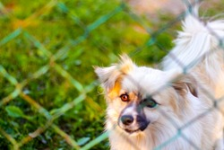 Defocus pekingese dog on the grass looking through green metal fence. Portrait of a dog behind an iron fence standing at a fence looking at the camera at sunny day. Out of focus.
