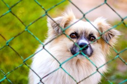 Defocus pekingese dog on the grass looking through green metal fence. Portrait of a dog behind an iron fence standing at a fence looking at the camera. Out of focus.