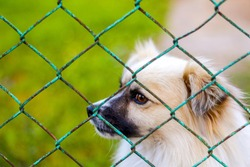 Defocus pekingese dog on the grass looking through green metal fence. Portrait of a dog behind an iron fence standing at a fence looking at the camera. Pet alone. Out of focus.