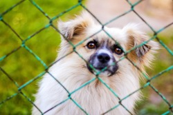 Defocus pekingese dog on the grass looking through green metal fence. Portrait of a dog behind an iron fence standing at a fence looking at the camera. Pet alone crying. Out of focus.