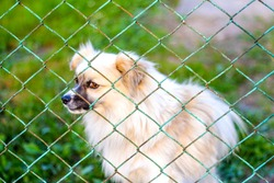 Defocus pekingese dog on the grass looking through metal fence. Portrait of a dog behind an iron fence standing at a fence looking at the camera. Out of focus.