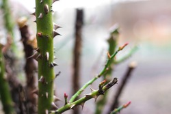 Defocus Thorn rose. Close-up part of thorn bush. Stem of rose bush with thorns and green leaves on blurred gray background. Twig. Side view. Out of focus.
