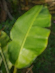 Defocused abstract background of banana leaves.