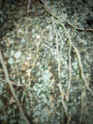 defocused abstract background of the surface of the tree trunk with roots attached to it