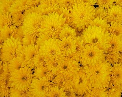 Defocused blurred yellow flowers. Stylization for painting. Autumn yellow abstract textured background. Floral print pattern. Shallow DOF