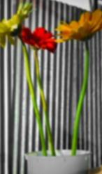 Defocused bukeh background of tricolor flower.