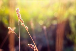 Defocused dry grass reeds stalks blowing in the wind at golden sunset light horizontal blurred on background copy space Wild grass in a field at sunset Blurred nature background vintage, out of focus