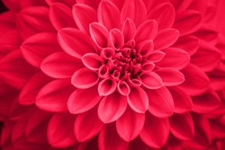 Defocused pink dahlia petals macro, floral abstract background. Close up of flower dahlia for background, Soft focus.