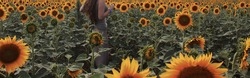 defocused shot of girl Sunny beautiful picture of young cheerful girl holding hands up in air and looking at sunrise or sunset. Stand alone among field of sunflowers. Enjoy moment.long-haired girl.