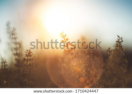 defocused view of dried wild flowers and grass in a meadow in winter or spring оr fall in the bright golden rays of the sun with lens flare and highlights on a helios lens blurred background of sky