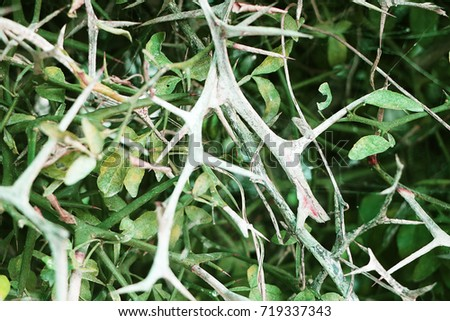 defoliate orange (tree) thorn