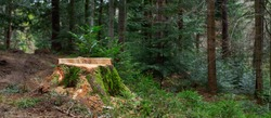 Deforestation concept. Stump of tree after cutting forest. Stump from fresh cut coniferous tree in forest. stump in the coniferous forest from freshly chopped spruce. Banner format.