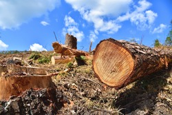Deforestation forest and Illegal logging. Cutting trees. Stacks of cut wood. Wood logs, timber logging, industrial destruction. Forests illegal disappearing. Environmetal and ecological issues
