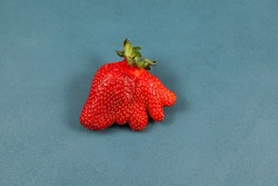 Deformed strawberry abnormal shape on blue background, close-up. Ugly fruits and vegetables can be eaten. Concept - reduction of organic waste.